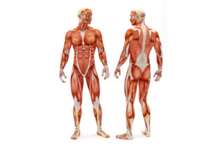 Musculatura corporal-2