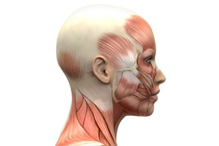 Musculatura facial - vista lateral - 2